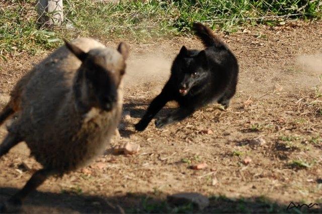 Pypo e ovelhas 2